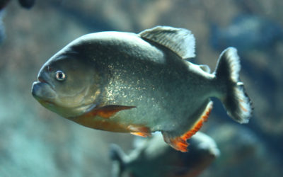 Protecting Yourself From Piranhas